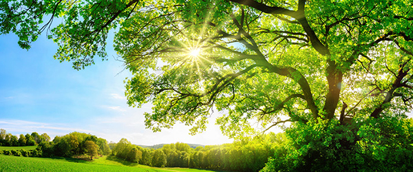 Sun Shining through lush tree)